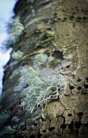 Lichen and woodpecker holes