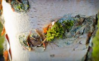 Moss on birch
