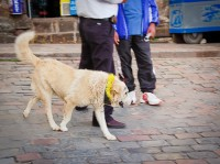 Why this dog had circles drawn around its eyes or the yellow necklace is a mystery to us. Cuzco, Peru.