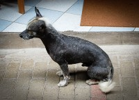 One of the famed hairless dogs of Peru. Aguas Callientes, Peru